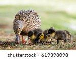 Mallard Ducklings  Anas...