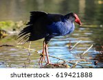 Small photo of Takahe standing in a shallow pool at the Willowbank Wildlife Reserve in Christchurch, New Zealand
