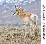 Small photo of Pronghorn (American antelope) side view.
