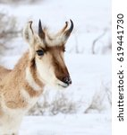 Small photo of Pronghorn (American antelope) looking at the camera.
