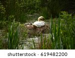 Swan Nest With Swan And...