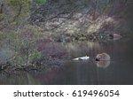 beaver in natural environment ...   Shutterstock . vector #619496054