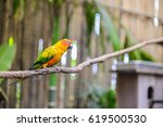 Sun Conure Parrot On A The...