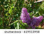 Lilac Blooms. A Beautiful Bunc...