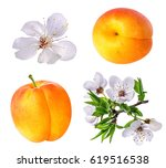 apricot and apricot flower on... | Shutterstock . vector #619516538