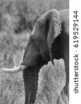 Small photo of African elephant, Masai Mara