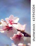 Almond Blossom   Flowering...