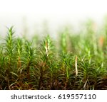 Macro Of Green Moss  Bryophyte...