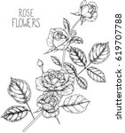 rose flowers drawing vector... | Shutterstock .eps vector #619707788