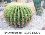 Golden Barrel Cactus Plant...