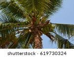 coconut   Shutterstock . vector #619730324