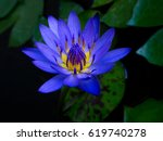 Blue Lotus With Green Leaves I...