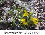 early spring flowers eranthis... | Shutterstock . vector #619744790