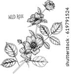 drawing flower. wild rose clip...