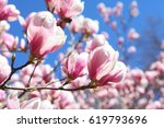 pink and white magnolia flowers | Shutterstock . vector #619793696