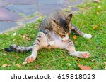 cat washes its belly and crotch ... | Shutterstock . vector #619818023