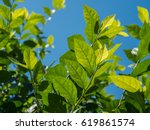 Leaves And Blue Sky