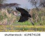 Goliath Heron Taking Off 4