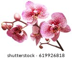 branch of pink orchid flowers...   Shutterstock . vector #619926818