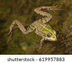 Edible Frog  Rana Esculenta ...
