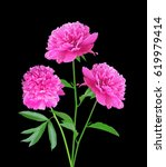 Pink Peonies Isolated On Black...
