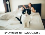 Stock photo beautiful black and white cat looking at the camera in the bed in the foreground lies behind a pair 620022353