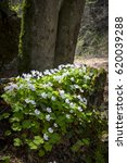 Small photo of clover in spring (Oxalis acetosella)