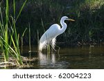 A Great Egret In Mating Plumage
