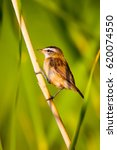 Small photo of Green nature background and cute bird. Sedge Warbler / Acrocephalus schoenobaenu