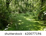 lush green swamp . the sun is... | Shutterstock . vector #620077196