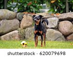 Small photo of little pinscher with a ball