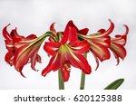 amarilis flower | Shutterstock . vector #620125388