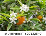 Orange Tree Branches With...