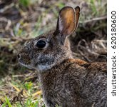 Small photo of A close up of the head of an Eastern Cottontail Rabbit with its eye, nose and whiskers in detail