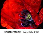 Red Poppy  Papaver Rhoeas ...
