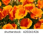 Fields Of California Poppy...