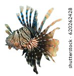 lionfish fish isolated on white ... | Shutterstock . vector #620262428
