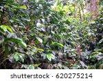 coffee crop | Shutterstock . vector #620275214