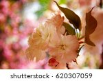 cherry blossoms | Shutterstock . vector #620307059