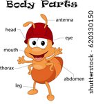 ant body parts. animal anatomy... | Shutterstock . vector #620330150