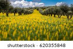 olive trees in a field of... | Shutterstock . vector #620355848