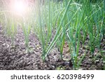 young onion field in the garden ...