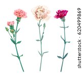 Set Of Carnation Schabaud ...
