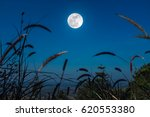feather pennisetum or mission...