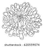 hand drawn chrysanthemum for... | Shutterstock .eps vector #620559074