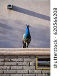 Small photo of Peacocks on adobe roof.