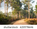 A Dirt Road In A Pine Forest....