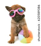 Stock photo puppy belgian shepherd dog laekenois in front of white background 620589386