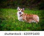 dog breed welsh corgi pembroke | Shutterstock . vector #620591600