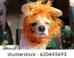 a funny looking chihuahua dog... | Shutterstock . vector #620645693